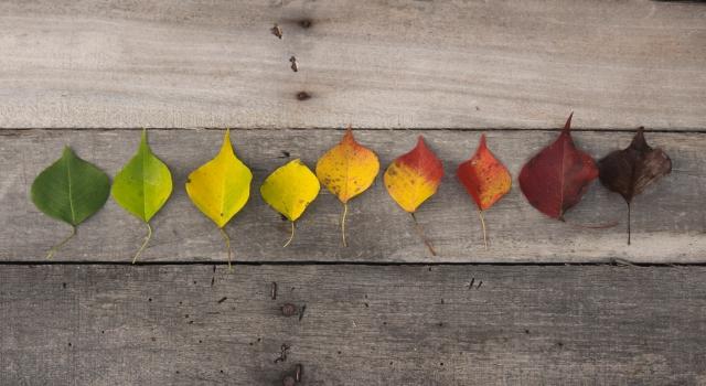 葉っぱの色の変化
